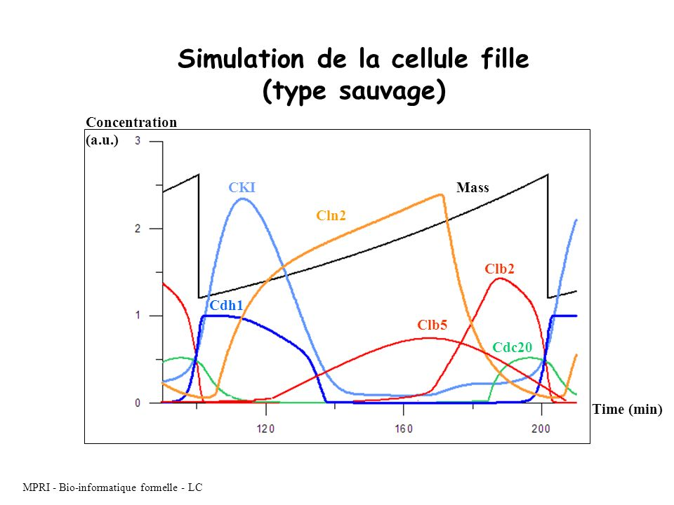 Simulation de la cellule fille (type sauvage)