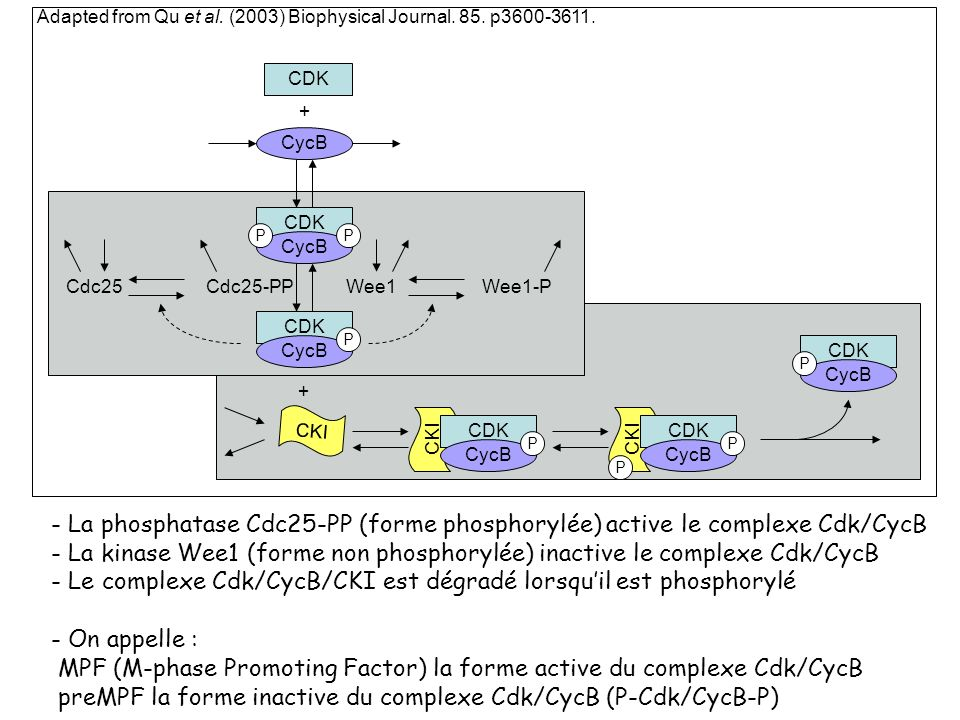 - Le complexe Cdk/CycB/CKI est dégradé lorsqu'il est phosphorylé