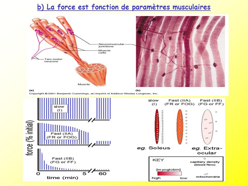 b) La force est fonction de paramètres musculaires