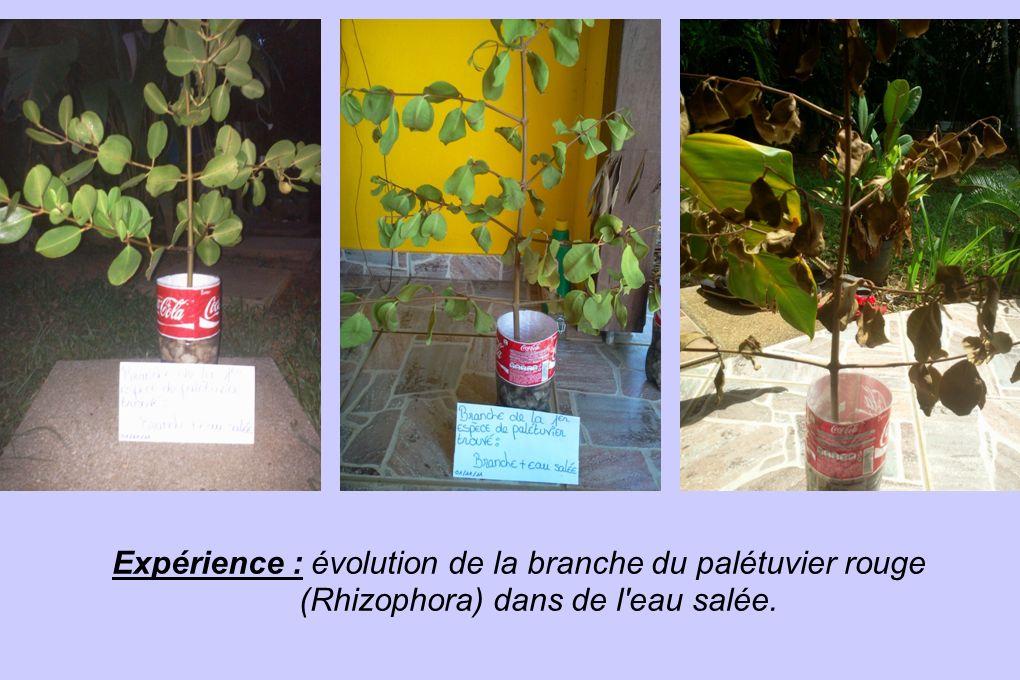 Expérience : évolution de la branche du palétuvier rouge (Rhizophora) dans de l eau salée.