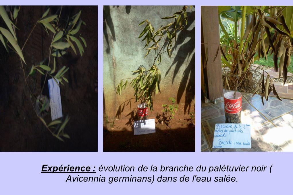 Expérience : évolution de la branche du palétuvier noir ( Avicennia germinans) dans de l eau salée.
