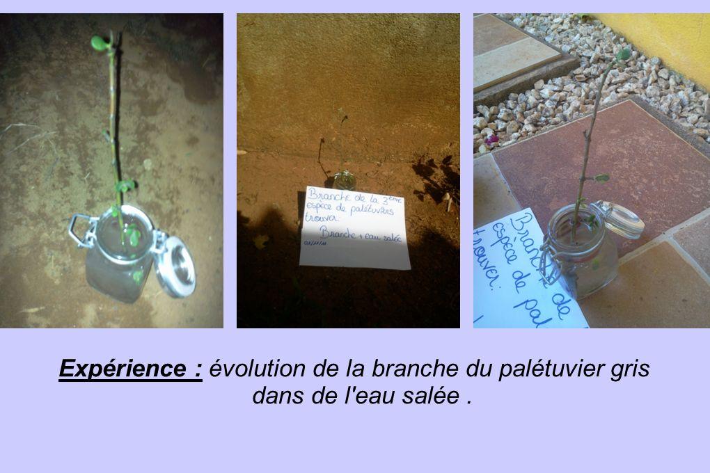 Expérience : évolution de la branche du palétuvier gris dans de l eau salée .