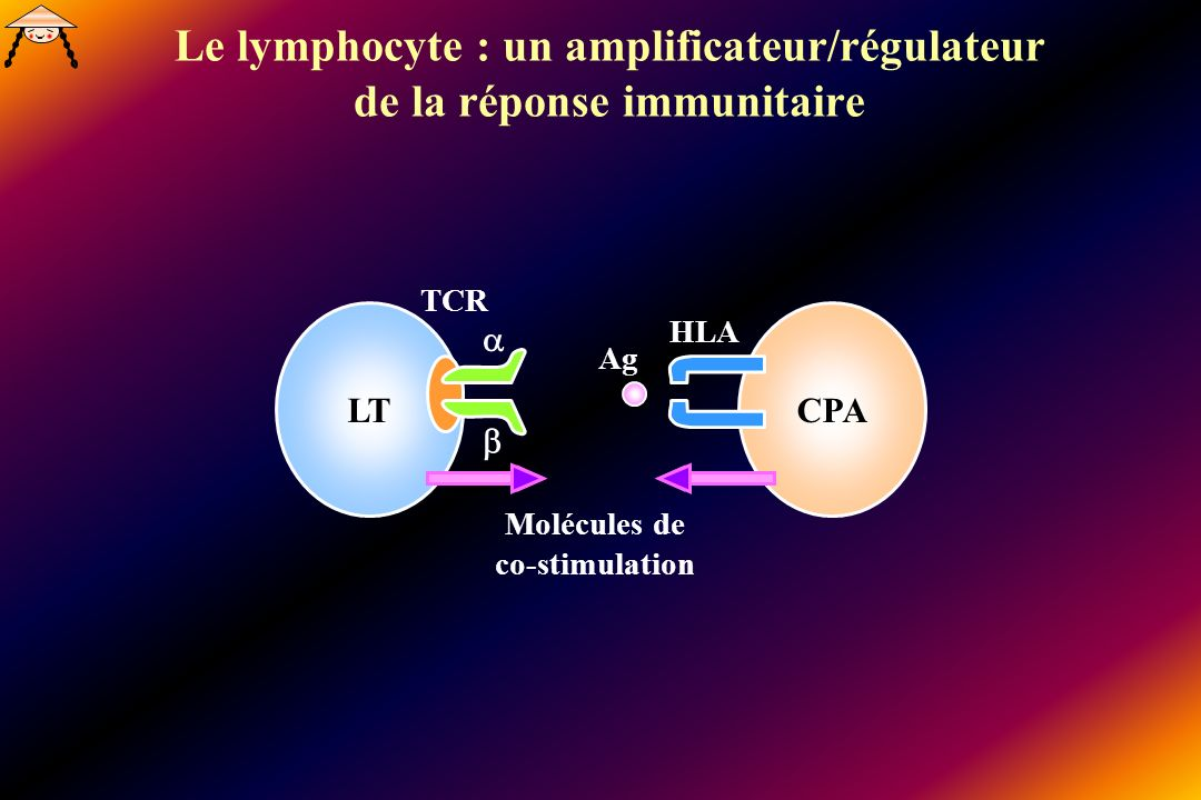 Le lymphocyte : un amplificateur/régulateur de la réponse immunitaire