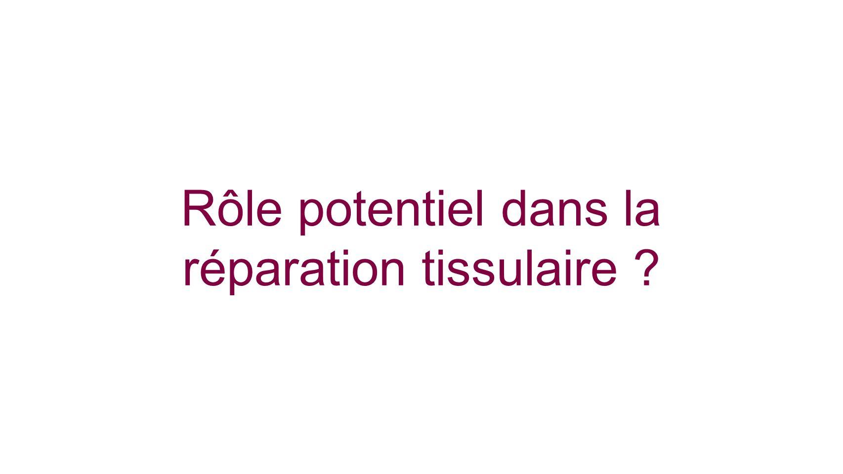 Rôle potentiel dans la réparation tissulaire