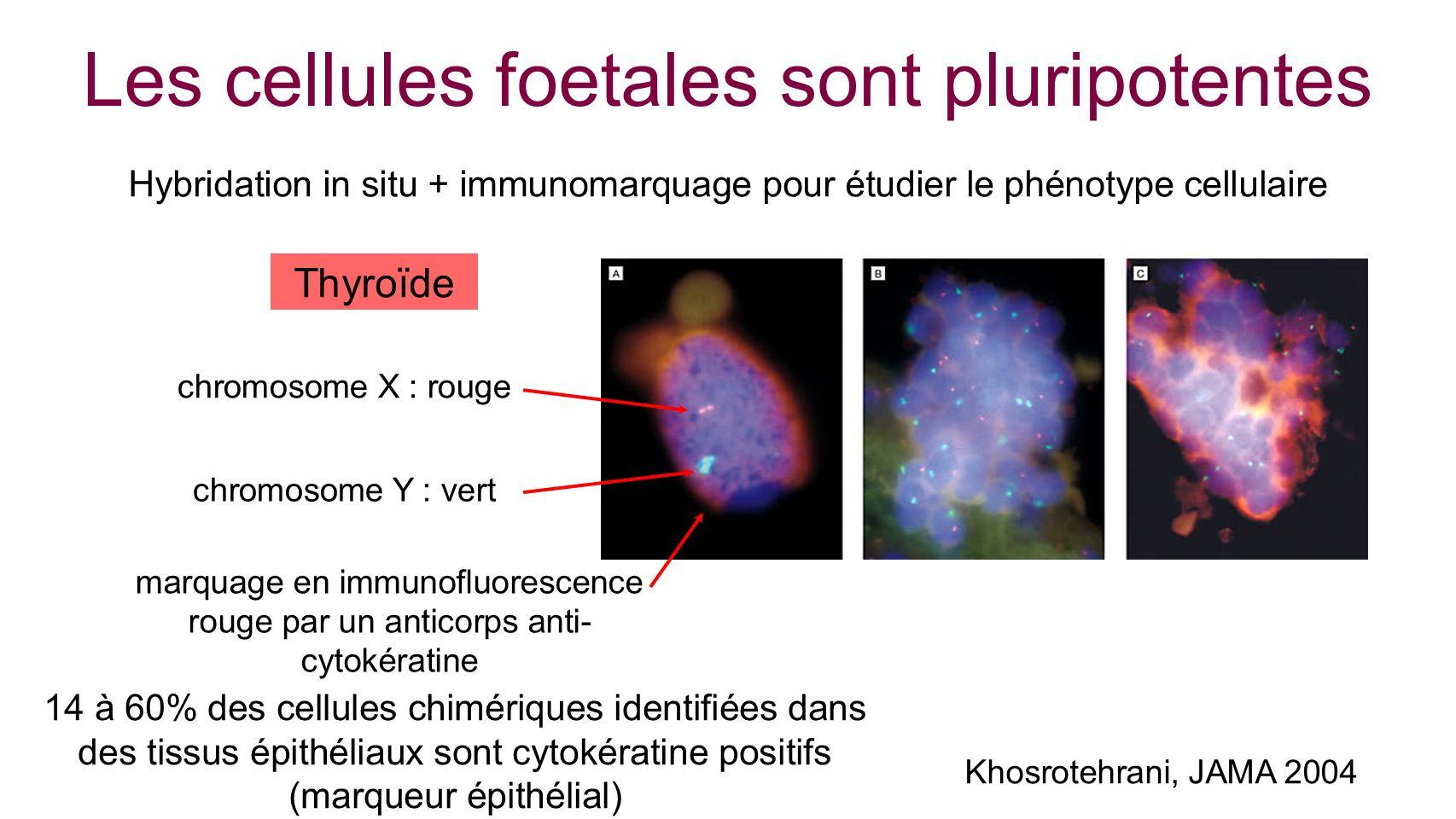 Les cellules foetales sont pluripotentes