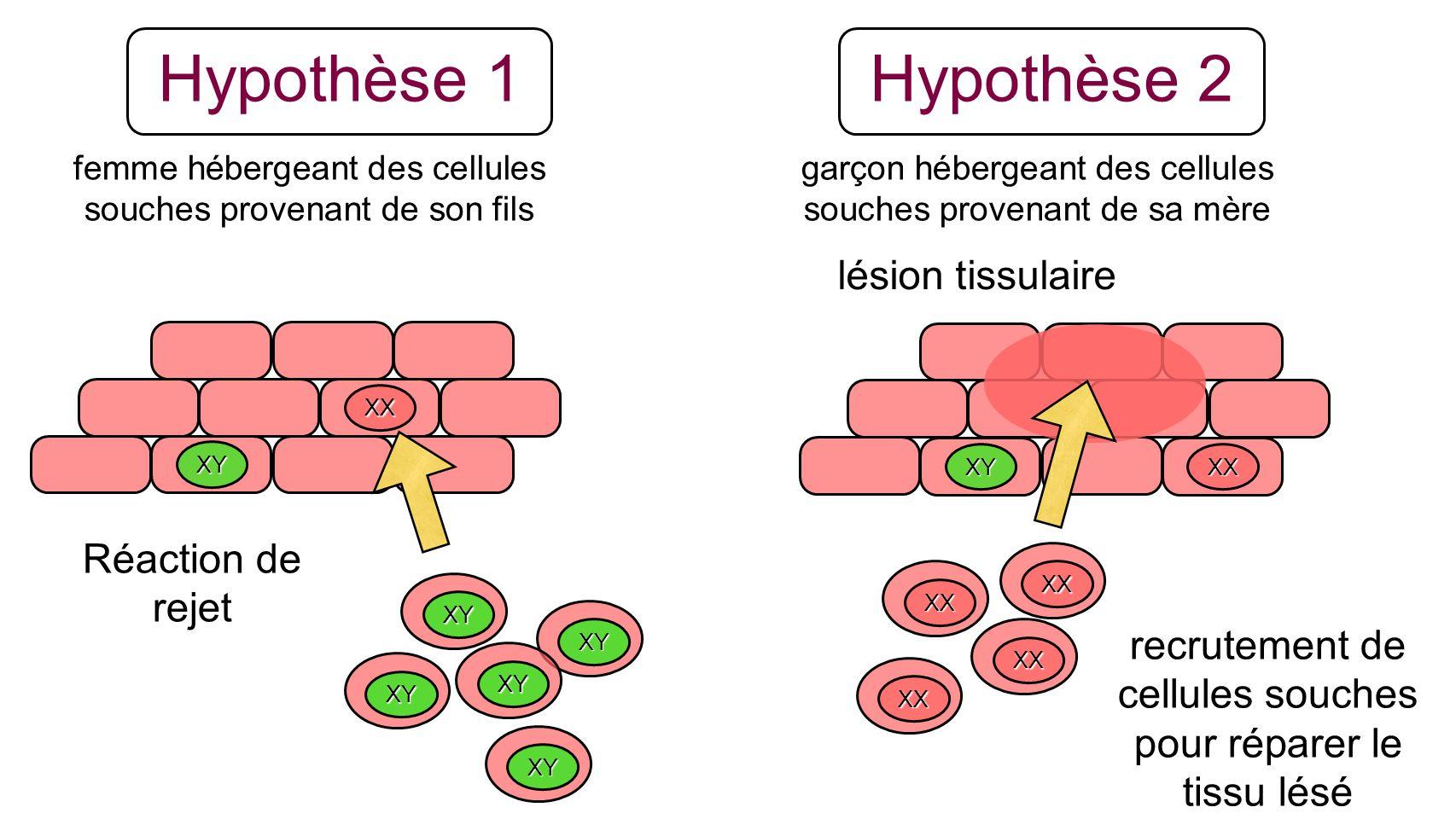 Hypothèse 2 Hypothèse 1 lésion tissulaire Réaction de rejet