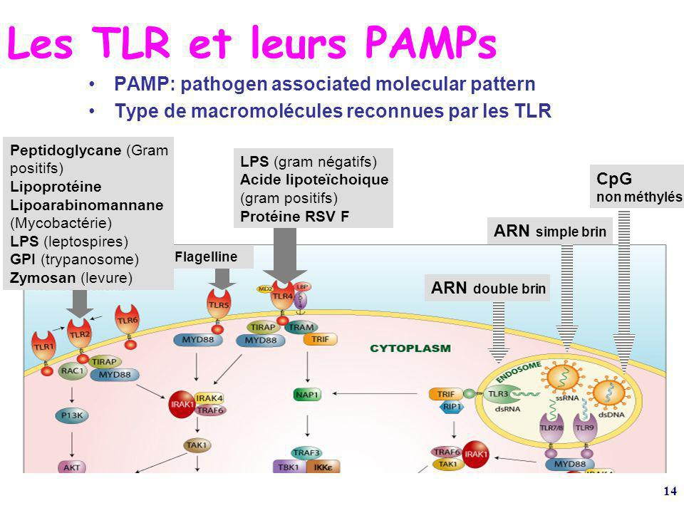 Les TLR et leurs PAMPs PAMP: pathogen associated molecular pattern