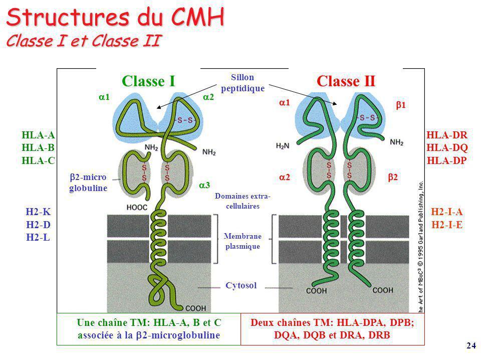 Structures du CMH Classe I et Classe II
