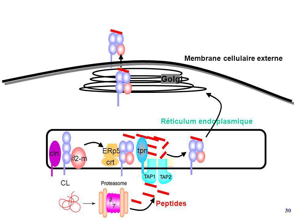 Golgi Membrane cellulaire externe Réticulum endoplasmique ERp57 tpn