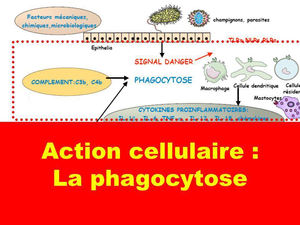 Action cellulaire : La phagocytose