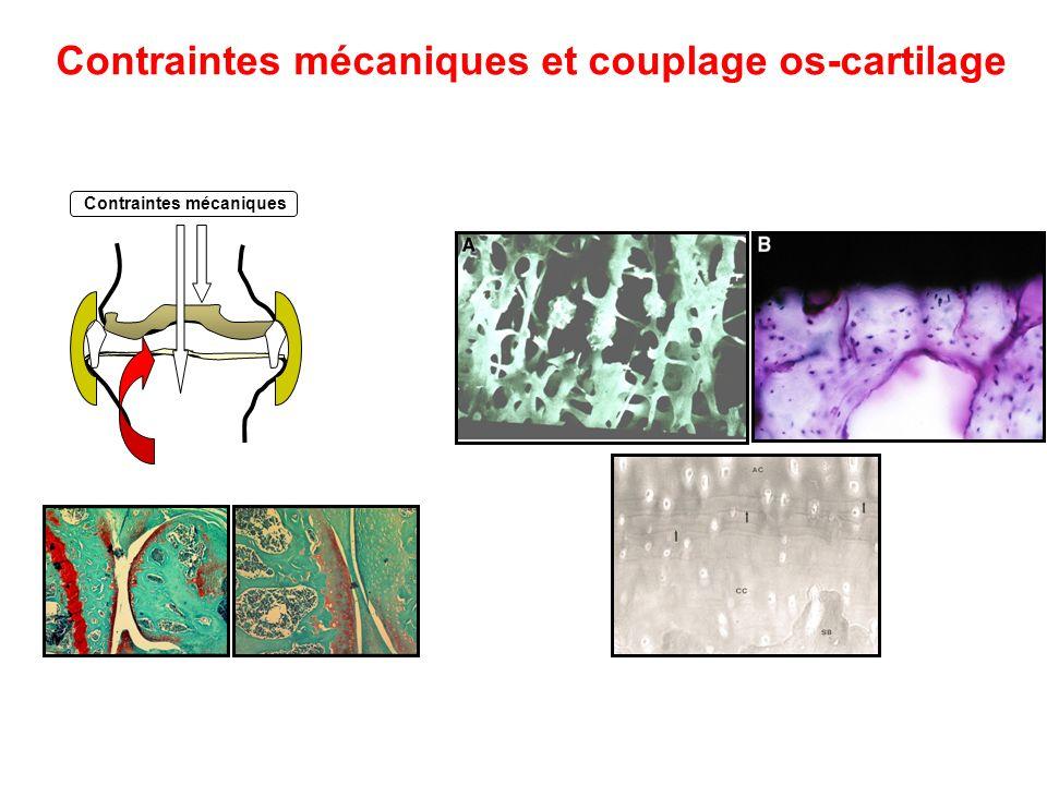 Contraintes mécaniques et couplage os-cartilage