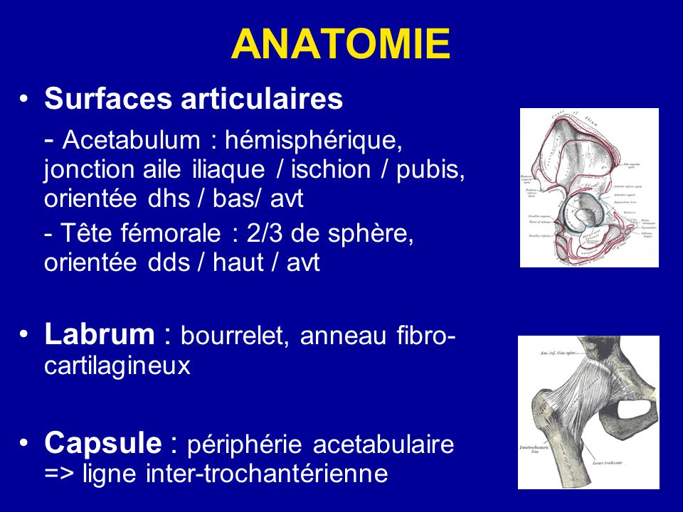 ANATOMIE Surfaces articulaires