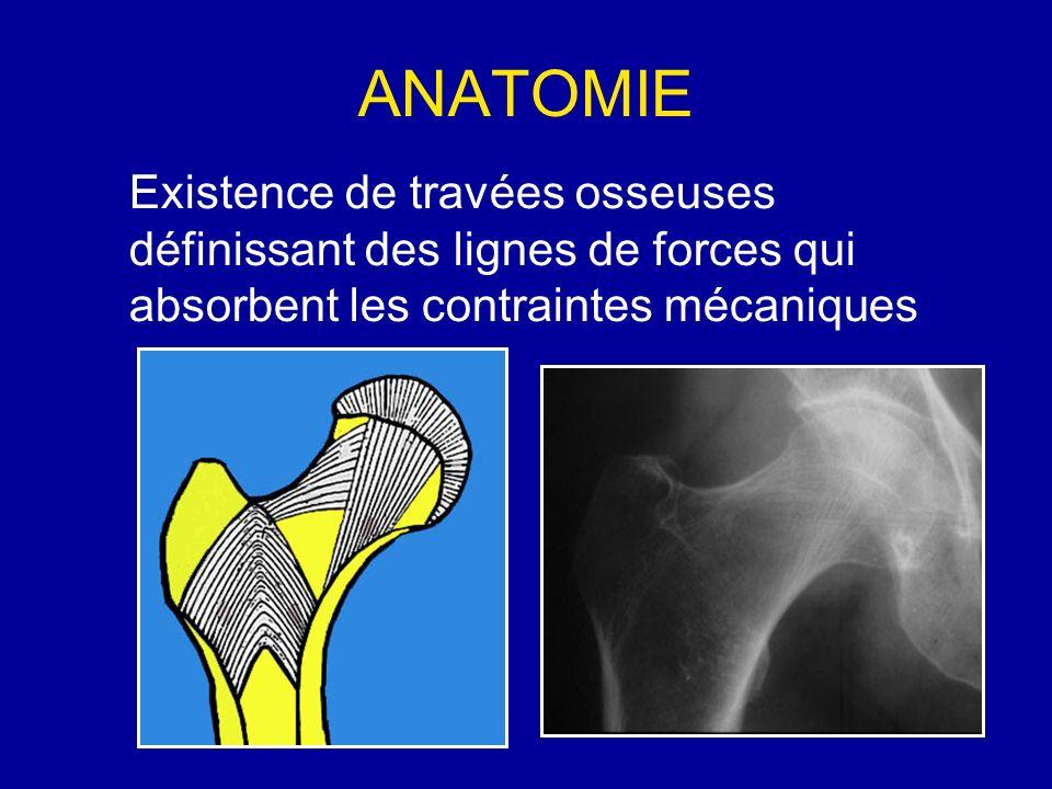 ANATOMIE Existence de travées osseuses définissant des lignes de forces qui absorbent les contraintes mécaniques.