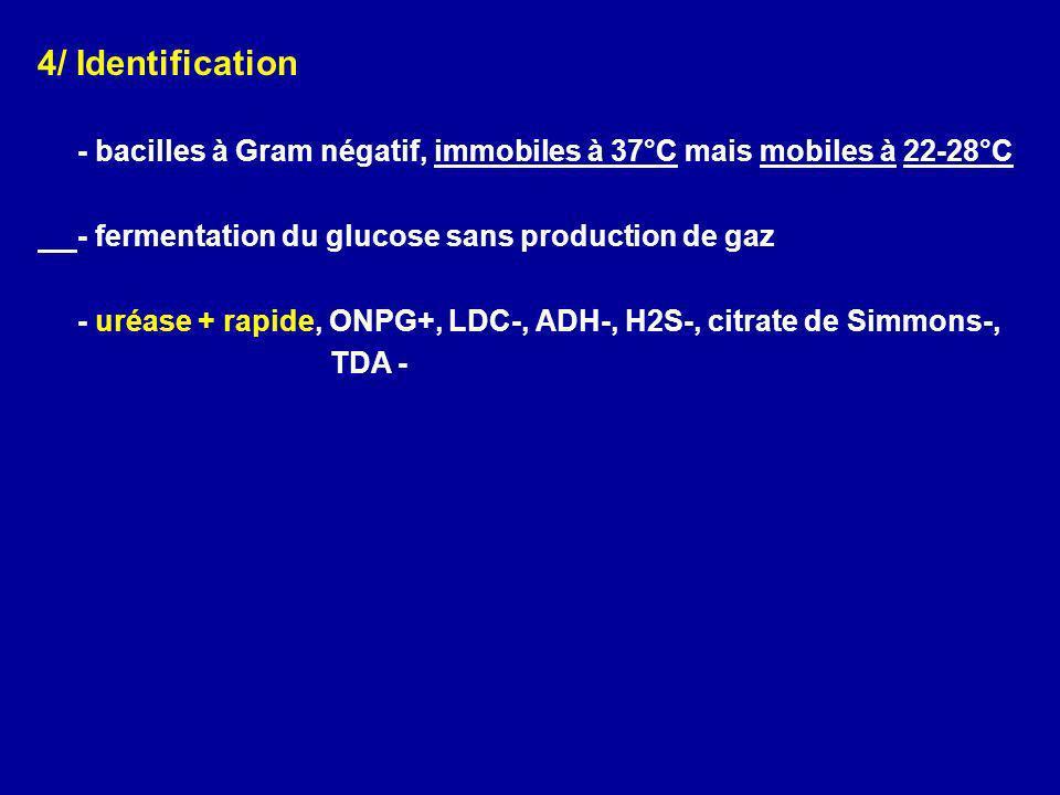 4/ Identification - bacilles à Gram négatif, immobiles à 37°C mais mobiles à 22-28°C. - fermentation du glucose sans production de gaz.