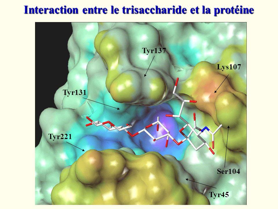 Interaction entre le trisaccharide et la protéine