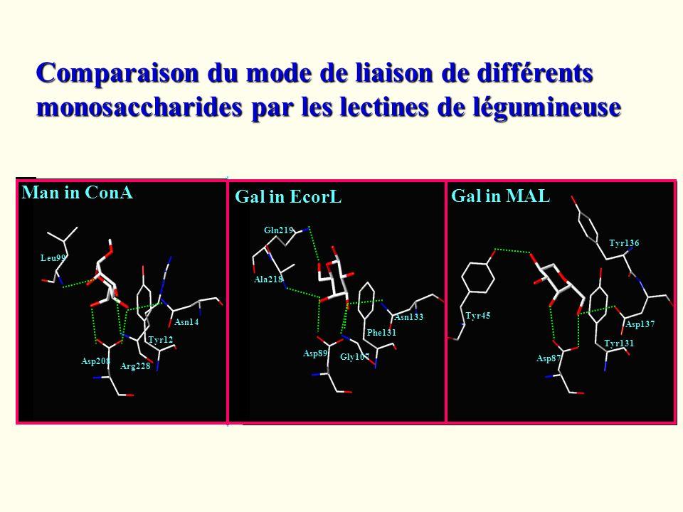 Comparaison du mode de liaison de différents monosaccharides par les lectines de légumineuse
