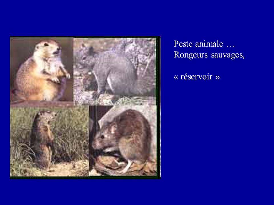 Peste animale … Rongeurs sauvages, « réservoir »