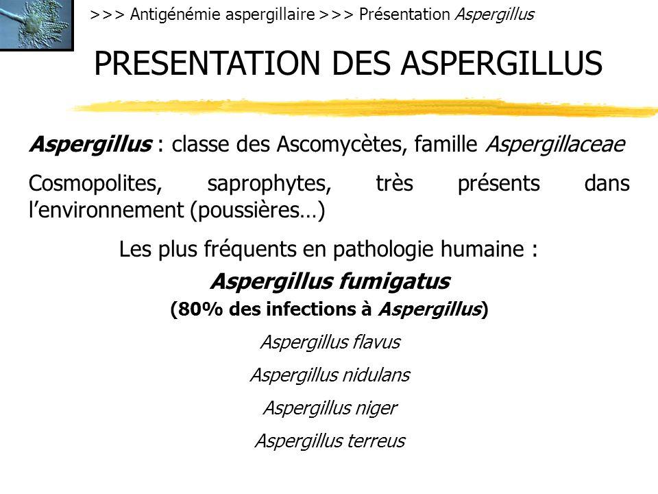 Aspergillus fumigatus (80% des infections à Aspergillus)