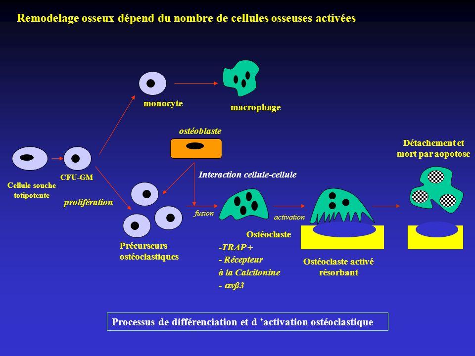 Remodelage osseux dépend du nombre de cellules osseuses activées