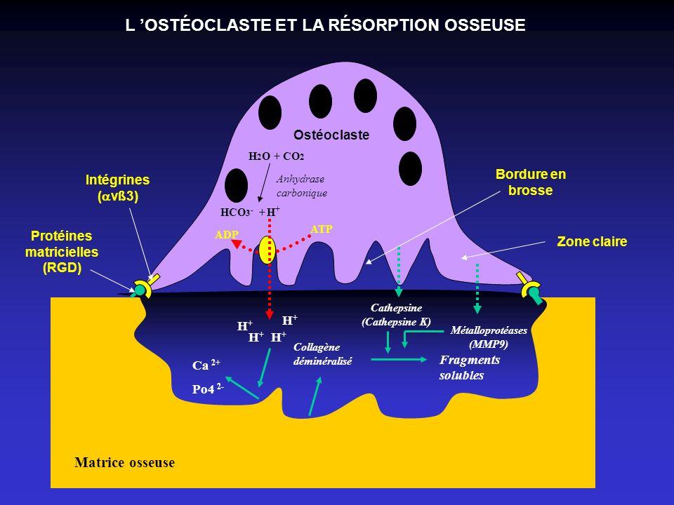 L 'OSTÉOCLASTE ET LA RÉSORPTION OSSEUSE