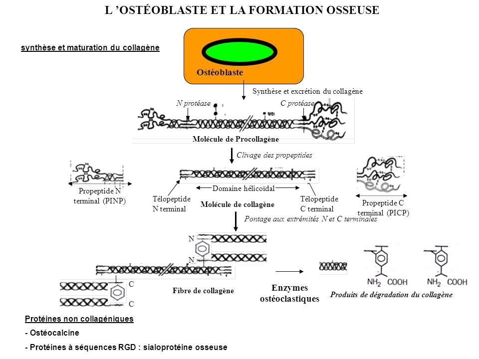 Enzymes ostéoclastiques Produits de dégradation du collagène