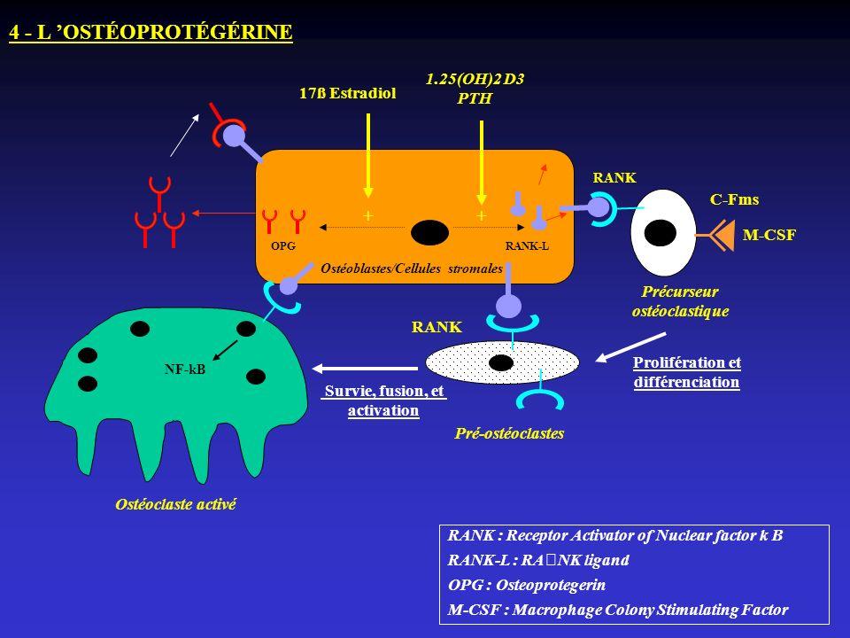Ostéoblastes/Cellules stromales Prolifération et différenciation