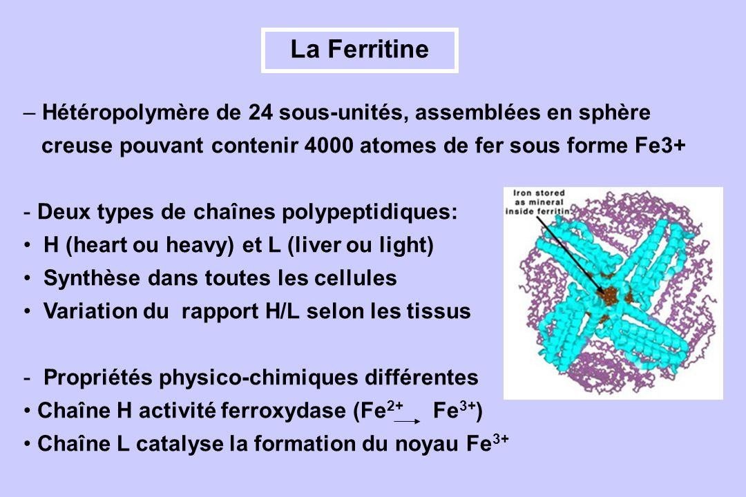 La Ferritine Hétéropolymère de 24 sous-unités, assemblées en sphère