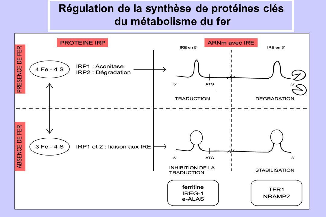 Régulation de la synthèse de protéines clés