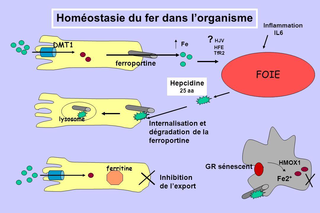 Homéostasie du fer dans l'organisme
