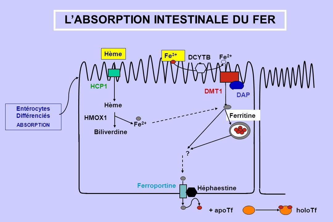L'ABSORPTION INTESTINALE DU FER Entérocytes Différenciés