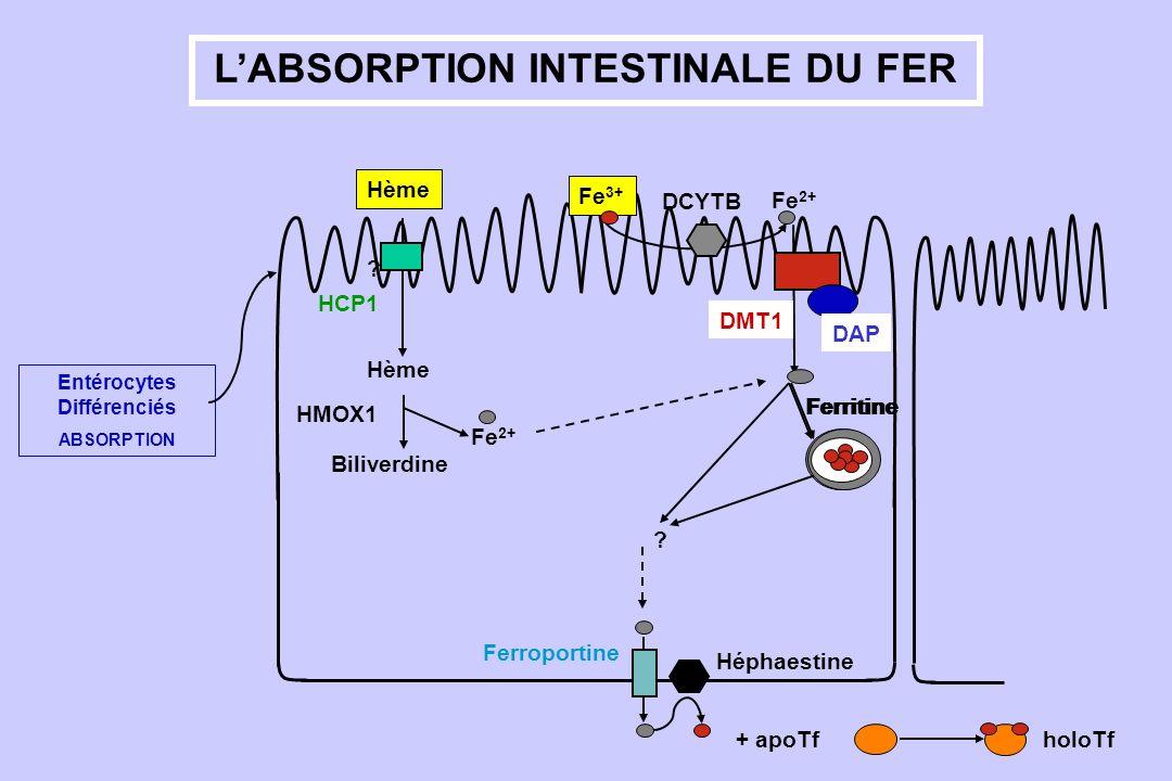 L'ABSORPTION INTESTINALE DU FER