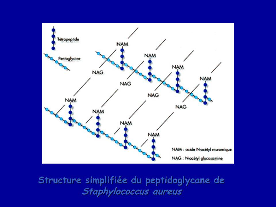 Structure simplifiée du peptidoglycane de Staphylococcus aureus