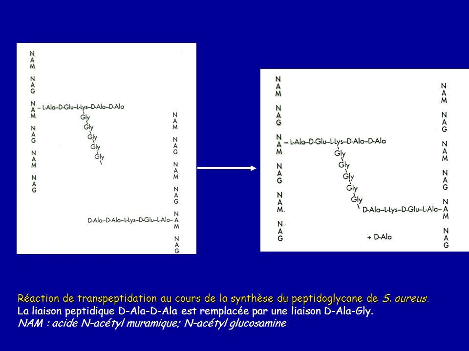Réaction de transpeptidation au cours de la synthèse du peptidoglycane de S. aureus.