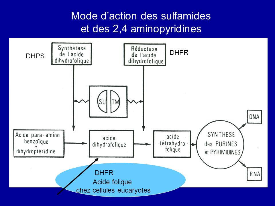 Mode d'action des sulfamides et des 2,4 aminopyridines