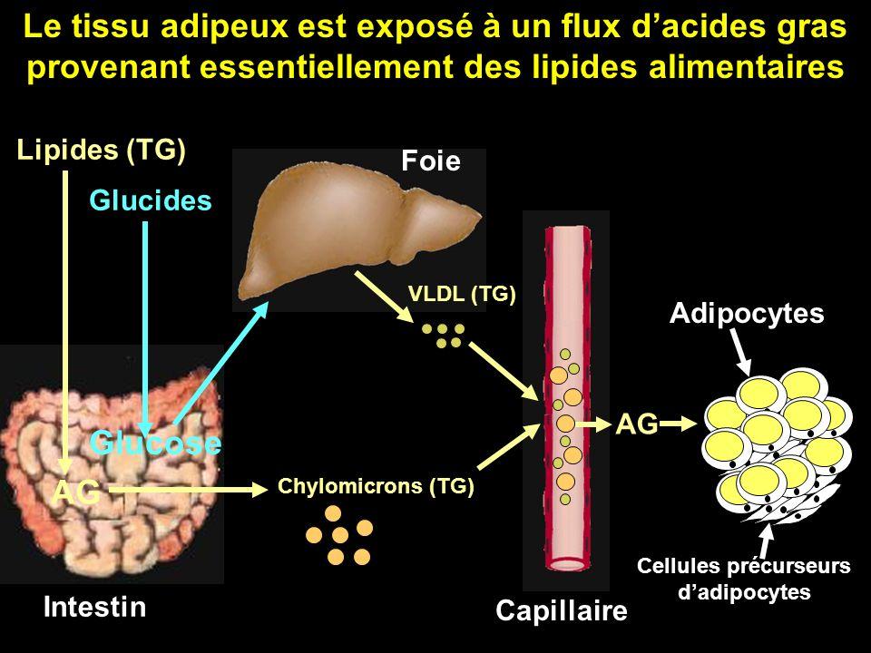 Cellules précurseurs d'adipocytes