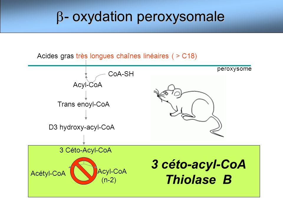 3 céto-acyl-CoA Thiolase B