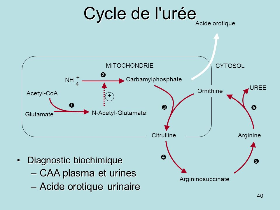 Cycle de l urée CAA plasma et urines Acide orotique urinaire