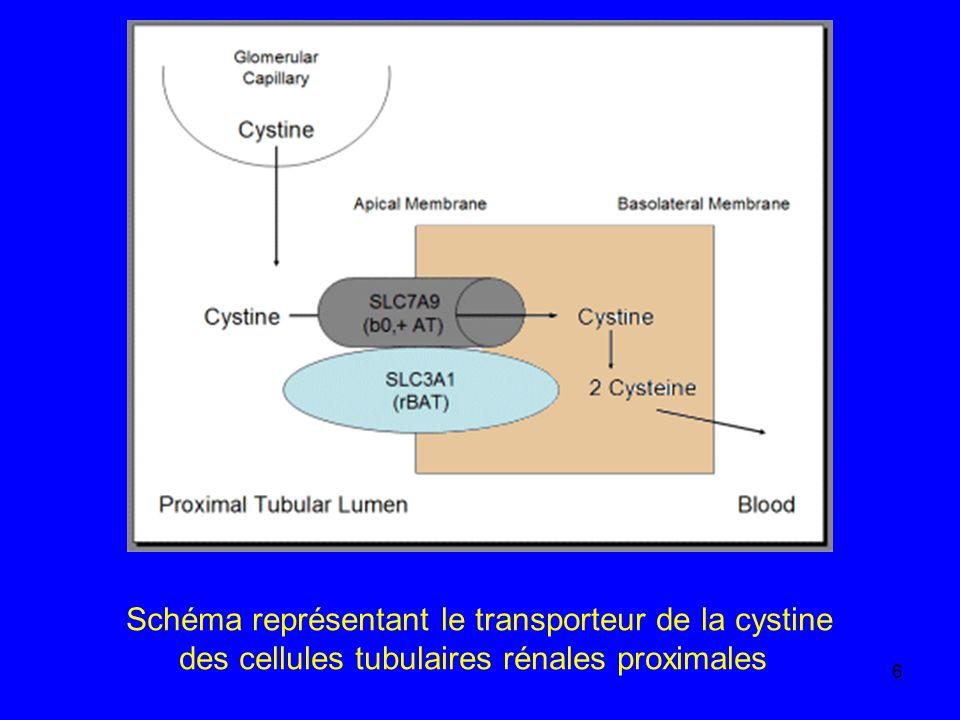Schéma représentant le transporteur de la cystine