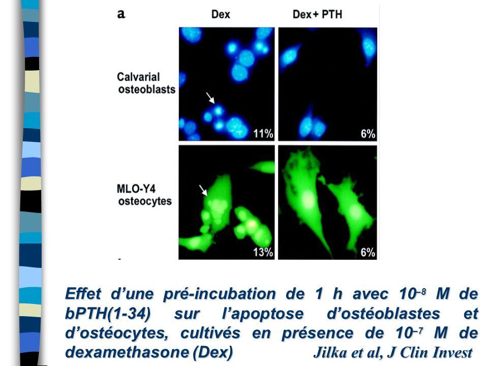 Effet d'une pré-incubation de 1 h avec 10–8 M de bPTH(1-34) sur l'apoptose d'ostéoblastes et d'ostéocytes, cultivés en présence de 10–7 M de dexamethasone (Dex) Jilka et al, J Clin Invest