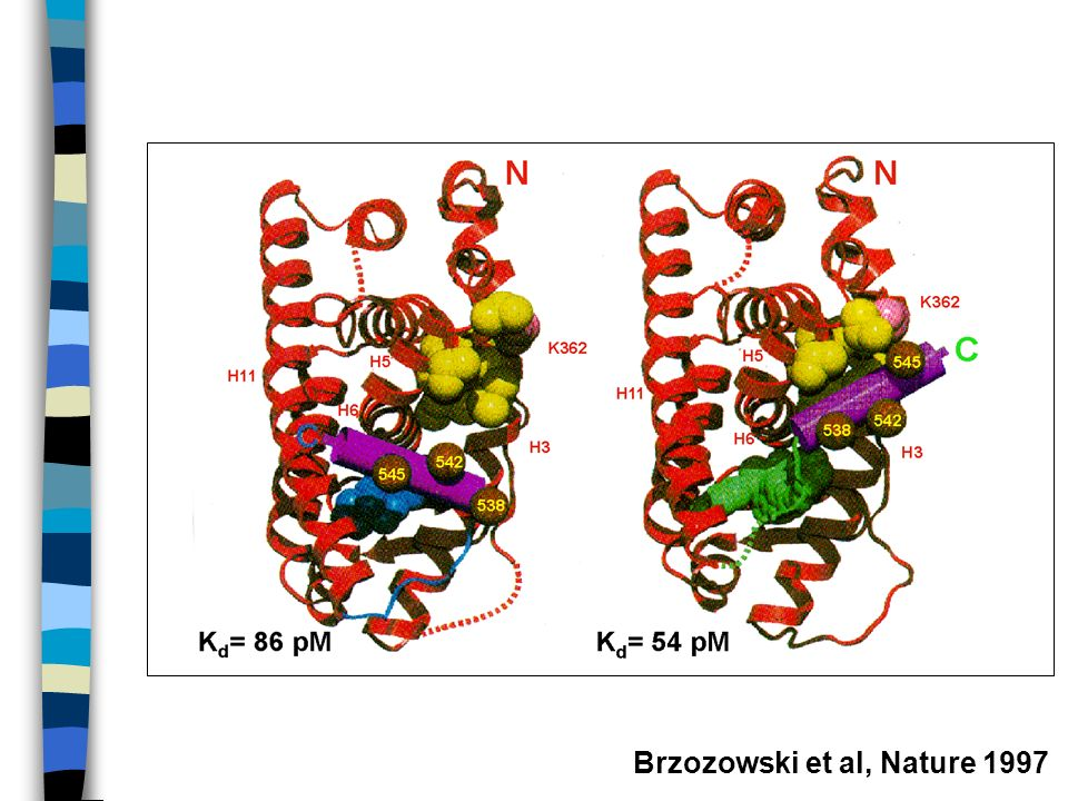 Brzozowski et al, Nature 1997