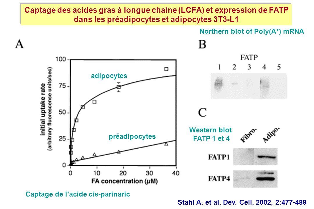 Captage des acides gras à longue chaîne (LCFA) et expression de FATP