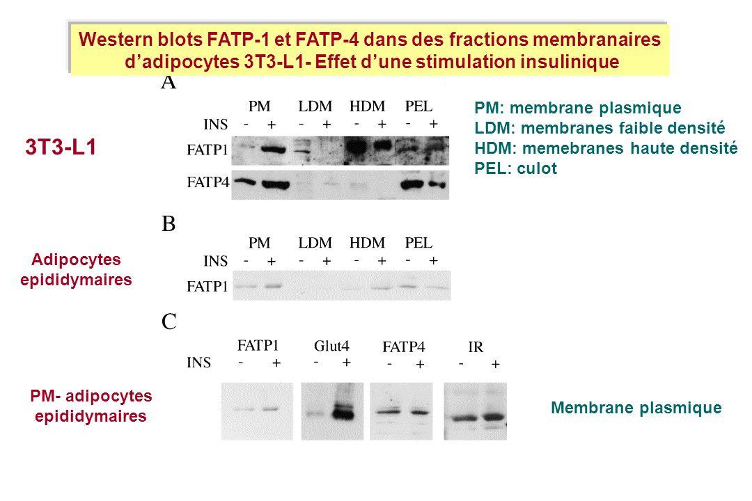 3T3-L1 Western blots FATP-1 et FATP-4 dans des fractions membranaires