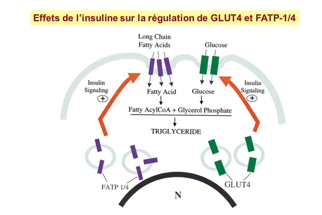 Effets de l'insuline sur la régulation de GLUT4 et FATP-1/4