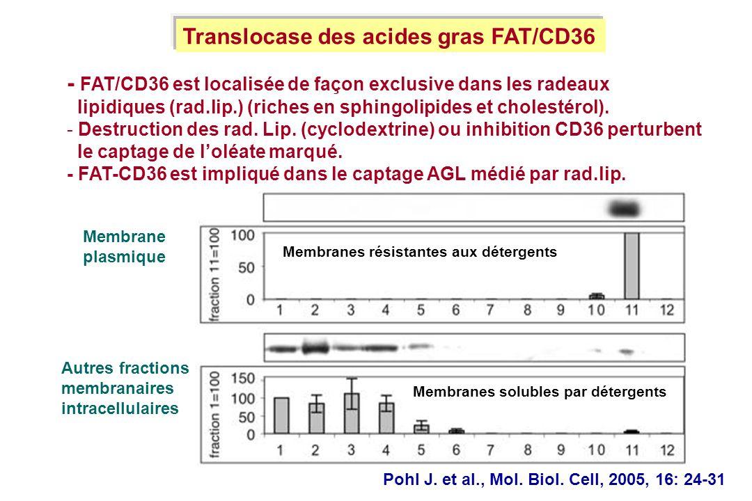- FAT/CD36 est localisée de façon exclusive dans les radeaux