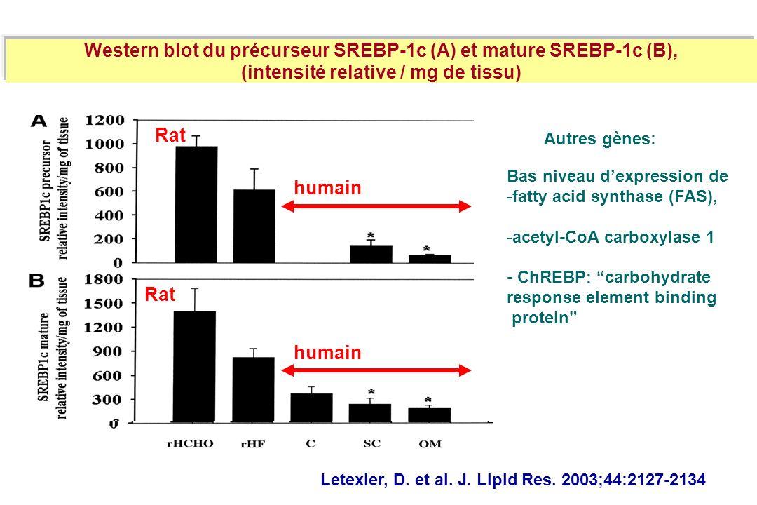 Western blot du précurseur SREBP-1c (A) et mature SREBP-1c (B),