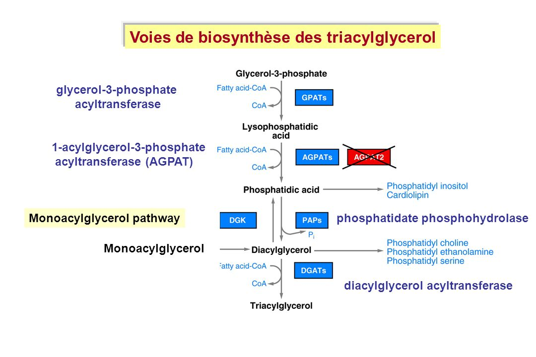 Voies de biosynthèse des triacylglycerol