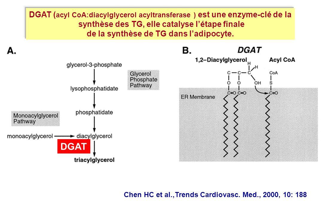 DGAT (acyl CoA:diacylglycerol acyltransferase ) est une enzyme-clé de la