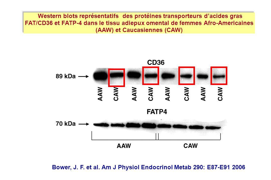 Western blots représentatifs des protéines transporteurs d'acides gras FAT/CD36 et FATP-4 dans le tissu adiepux omental de femmes Afro-Americaines (AAW) et Caucasiennes (CAW)