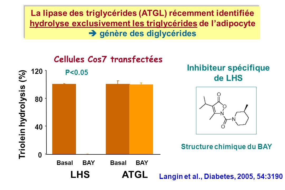 Cellules Cos7 transfectées