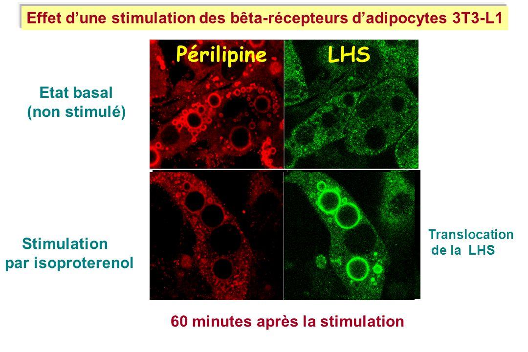 Effet d'une stimulation des bêta-récepteurs d'adipocytes 3T3-L1